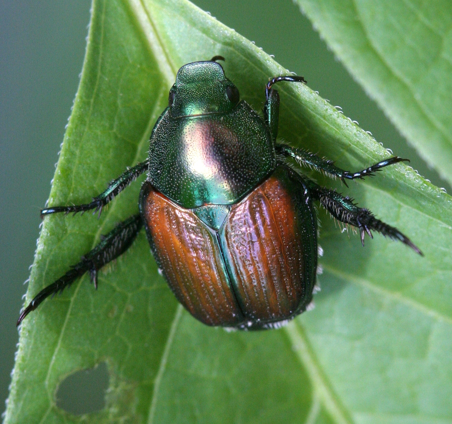 Japanese beetle ( Popillia japonica ). © David Cappaert, Michigan State University, Bugwood.org