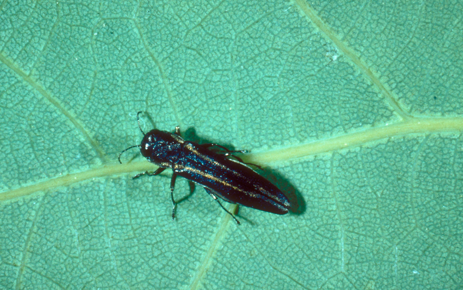 Bronze birch borer ( Agrilus anxius ). © Whitney Cranshaw, Colorado State University, Bugwood.org