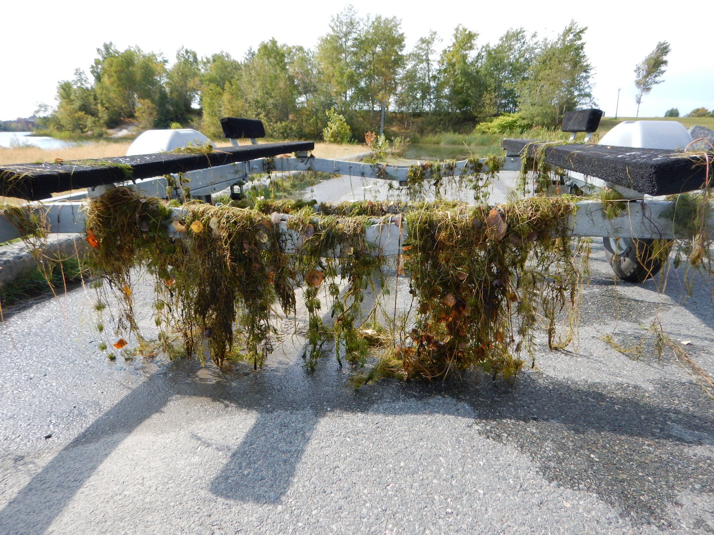 Trailer covered with eurasian water-milfoil at lake Osisko © Sophie Laliberté
