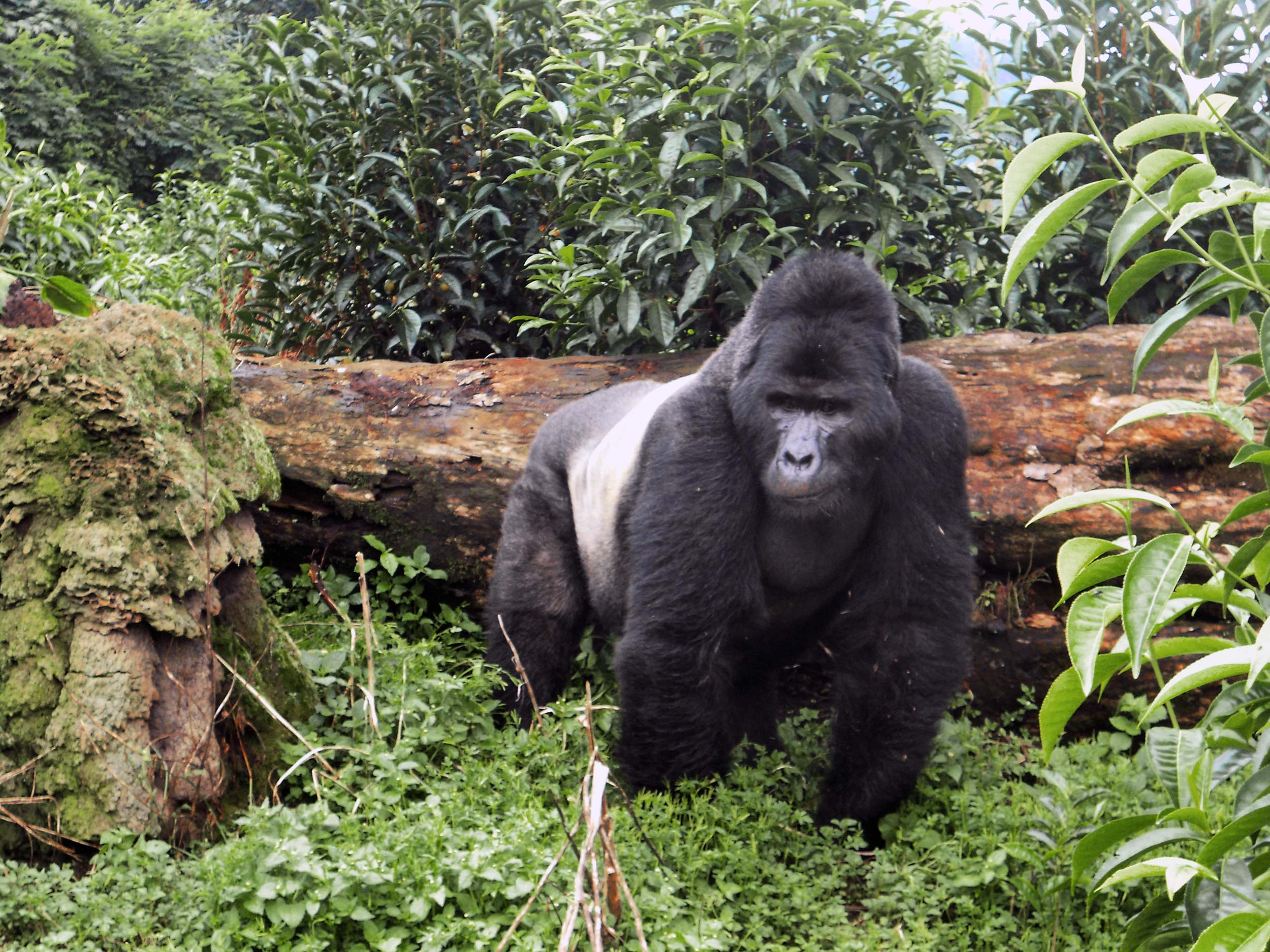 gorilla Trekking - Uganda is one of only three countries you can can take the once in a lifetime opportunity to walk amongst these mighty and gentle beasts.
