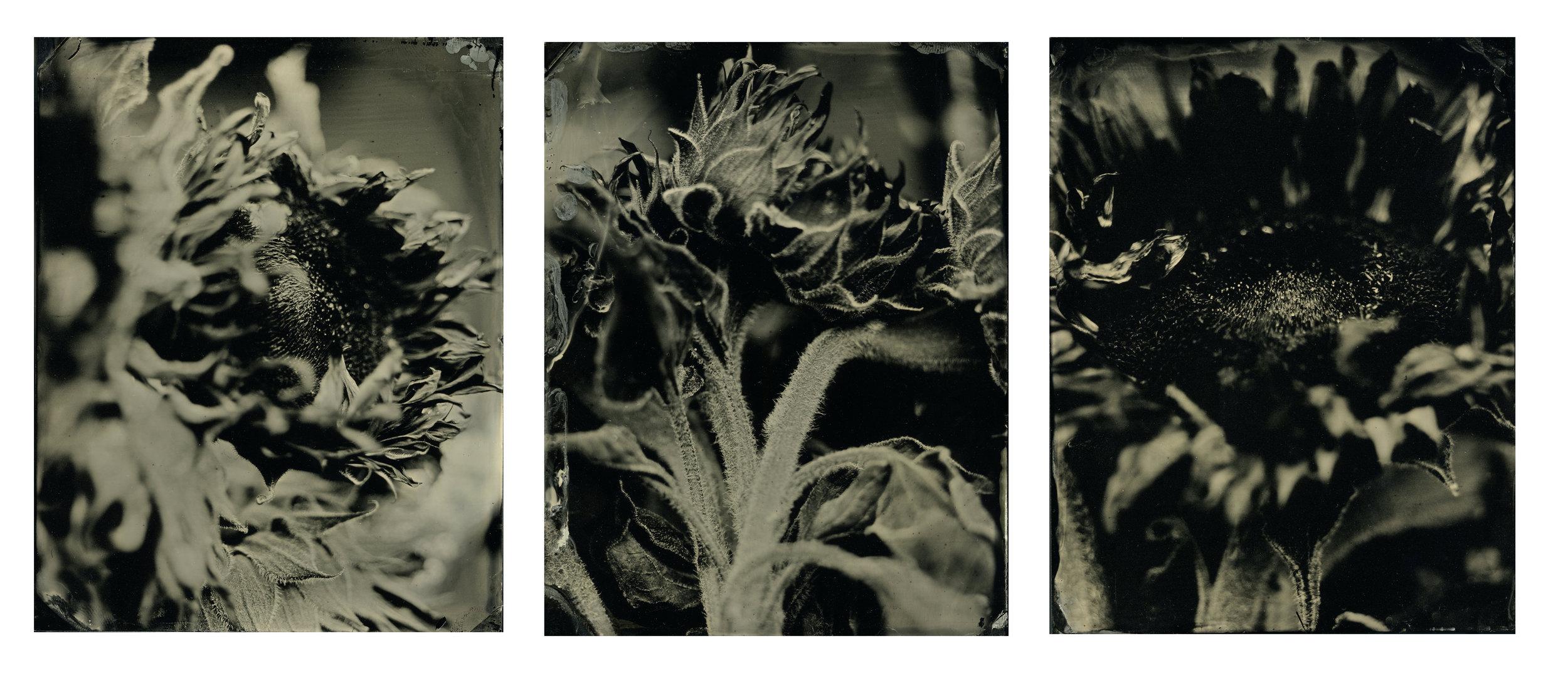 sunflowertriptich.jpg