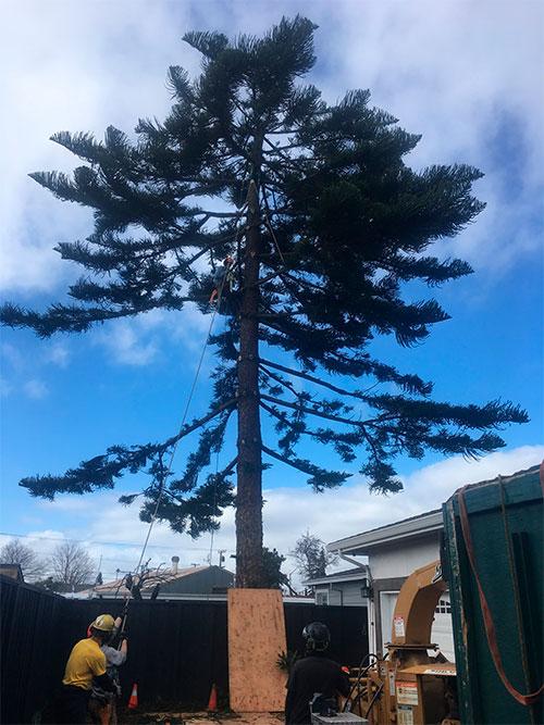 man-in-tall-pinetree-osm.jpg