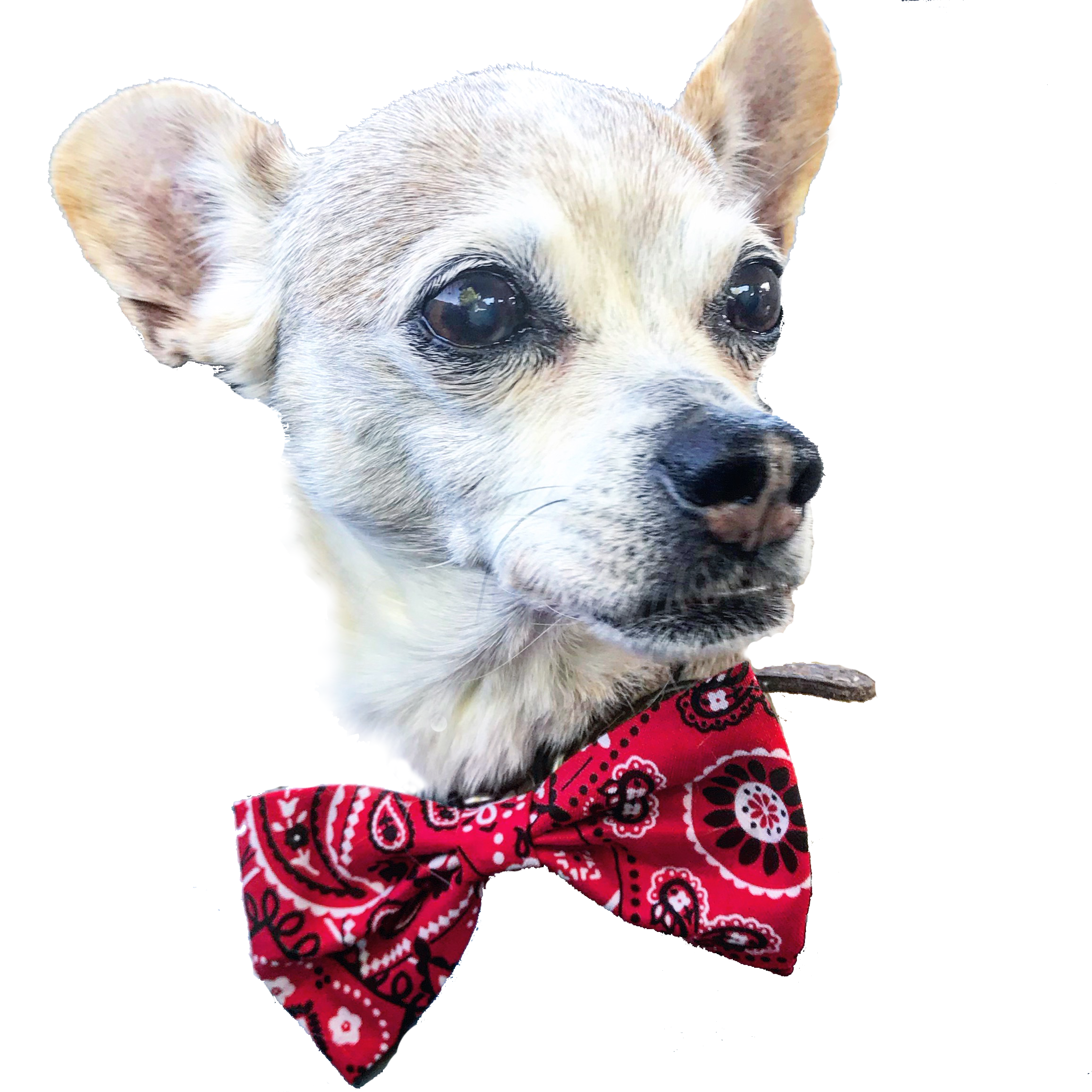Crowder Pea  - approx. 13 years old, rescued chihuahua mix, client since 2016