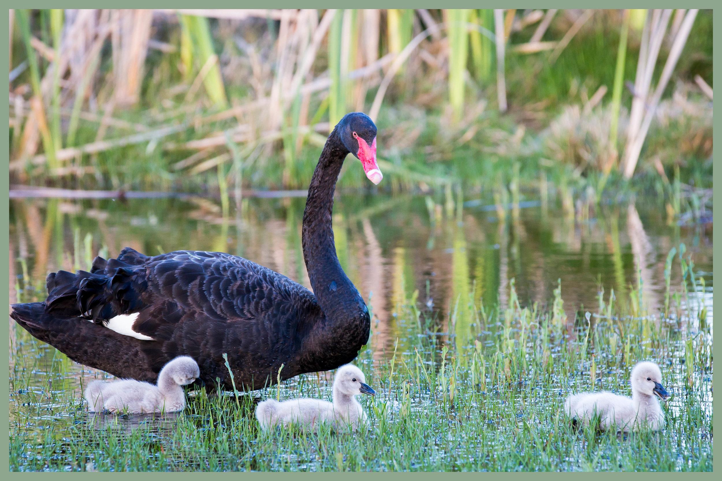 mother swan.jpg