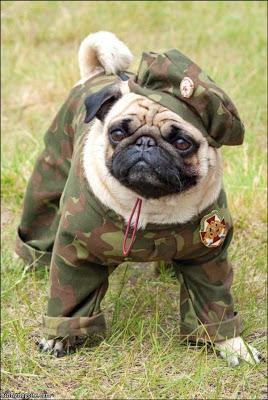 Pug-Dog-Photo.jpg