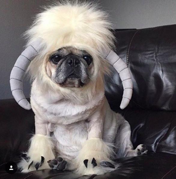 star wars themed pug costume