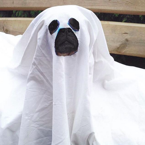 Another simple yet elegant costume, The Ghost Pug! from @bubblebeccapugs