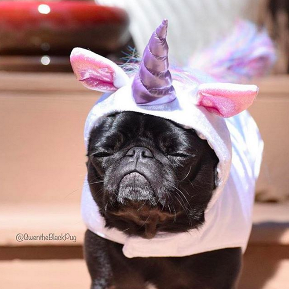 and finally, the mysterious and mythical Unicorn Pug! from momo's bestie @gwentheblackpug