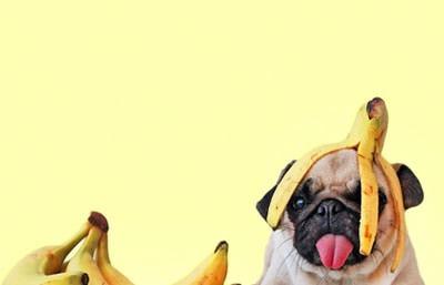 pug bananna