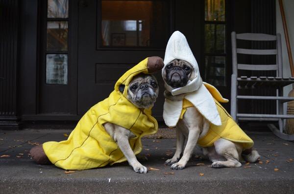 pug banana