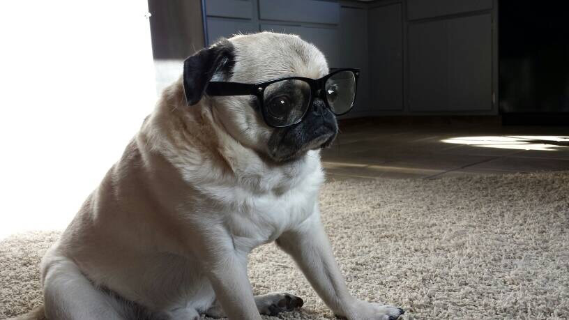 pug with glasses.jpg