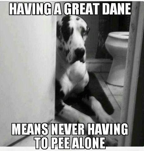 great-dane-pee-funny-dog.jpg