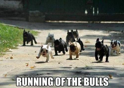 many-french-bulldogs-meme.jpg