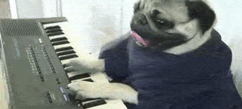 funny pug plays piano