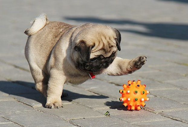 Must have pug toys