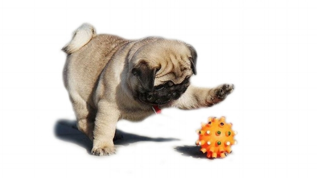 playing with pug toys