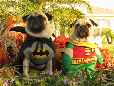 BatPug And Robin!