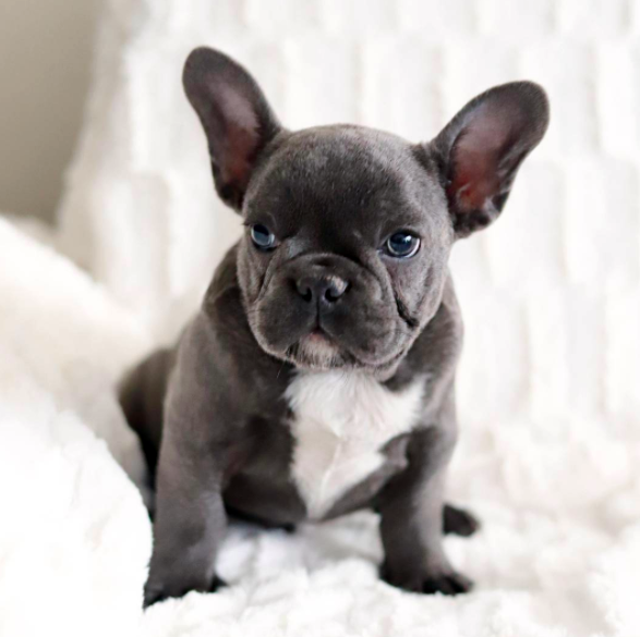 the frenchie republic