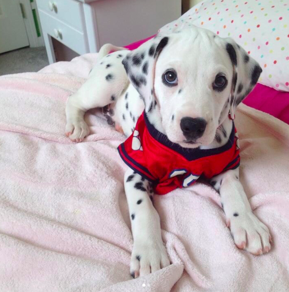 CUTEST DALMATIAN PUPPY IN THE WORLD! — Pug Jokes