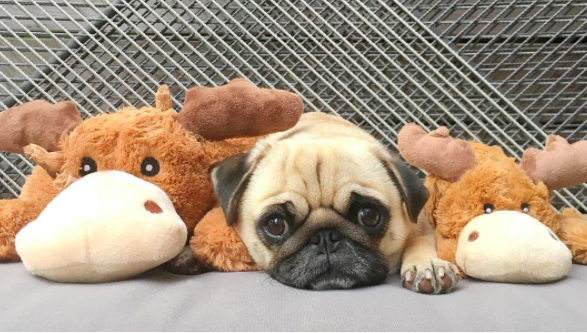 moose stuffed animal pug