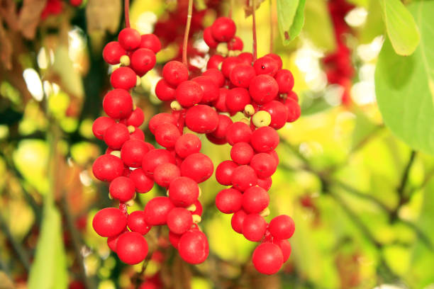 A Potent Berry for Liver Health: Schisandra Chinensis