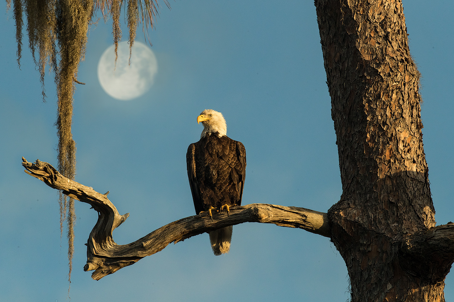 Florida has one of the densest concentrations of nesting bald eagles in the lower 48 states, with an estimated 1,500 nesting pairs according to Florida Fish and Wildlife Conservation Commission. This one nests at the Greenwood Cemetery near downtown Orlando.