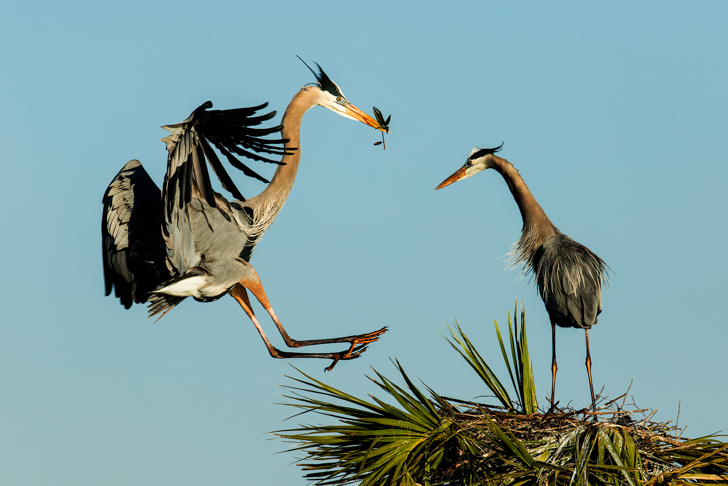 Great Blue Herons nest building at Viera Wetlands. This is one of the best places to photograph these beautiful birds in Central Florida.
