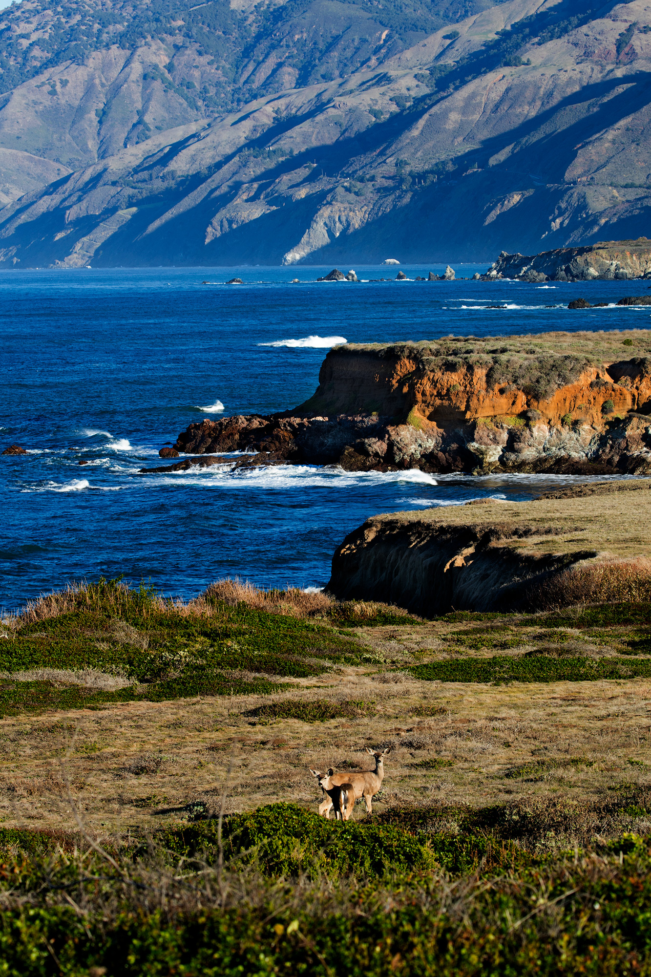 Deer feed on the coastal grasses in the early morning along the Pacific Coast Highway.