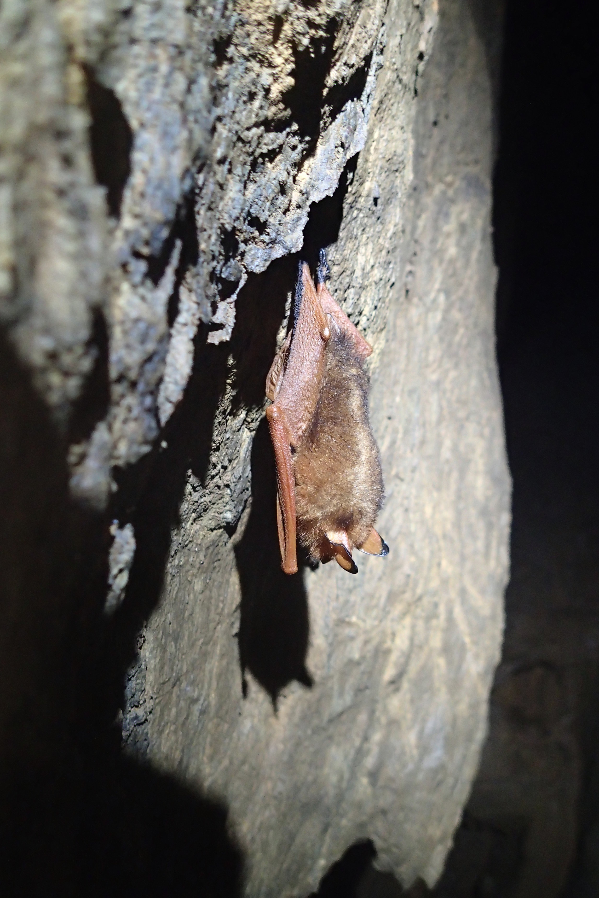 On our first Korean cave trip, and our last, we saw these endangered copper wing bats.