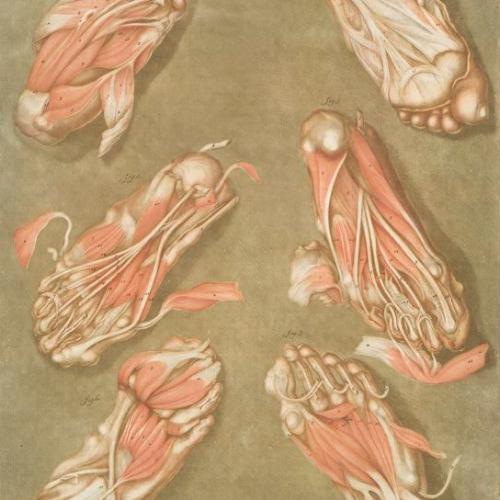 """""""Cette planche représente les muscles situés à la plante du pied, Pl. 14,"""" by Arnauld-Eloi Gautier-Dagoty (NYPL Digital Collections)"""