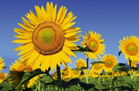 new-sunflowers-1.jpg