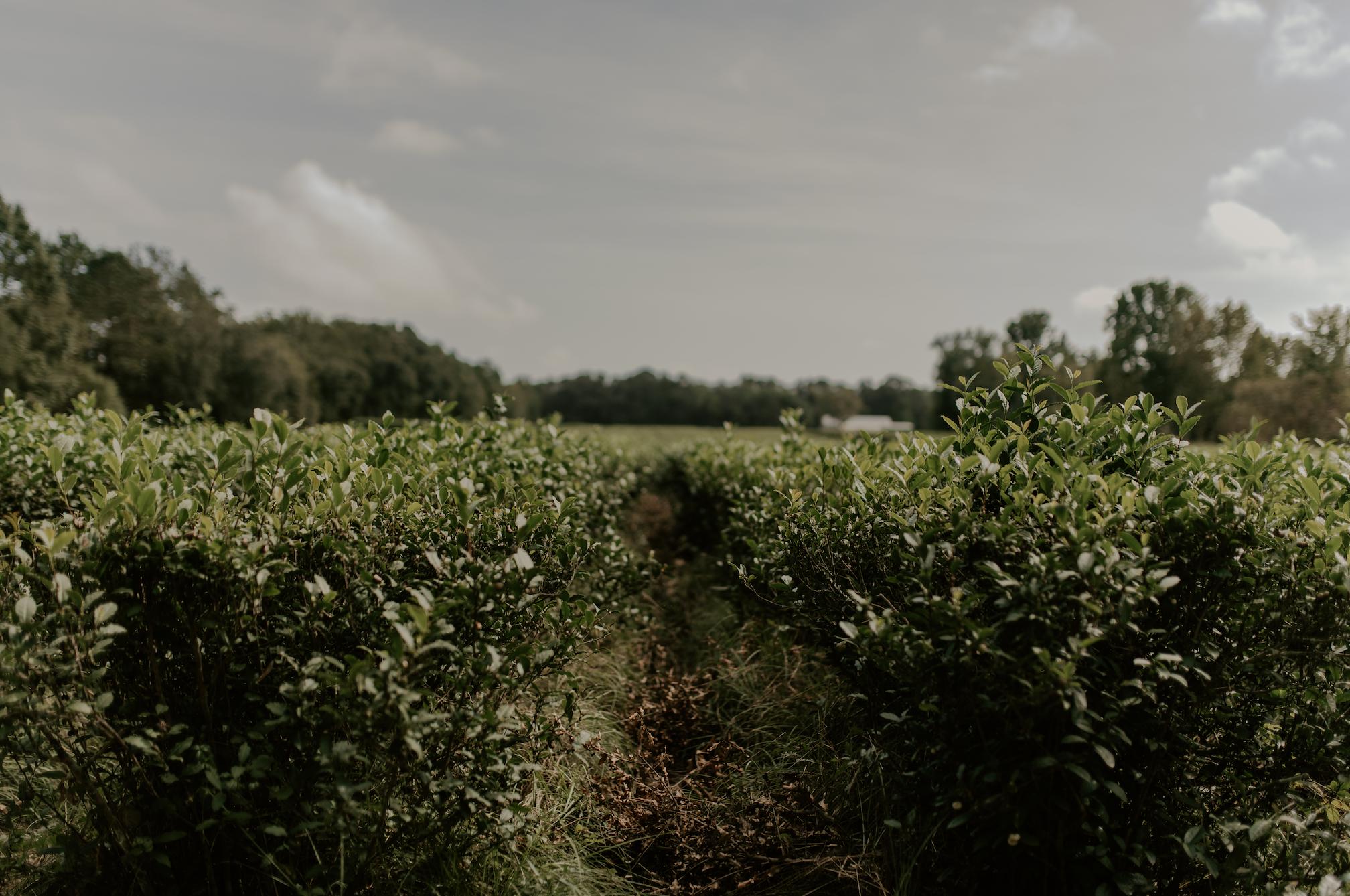 The Charleston Tea Plantation | Logan Simmons Photography
