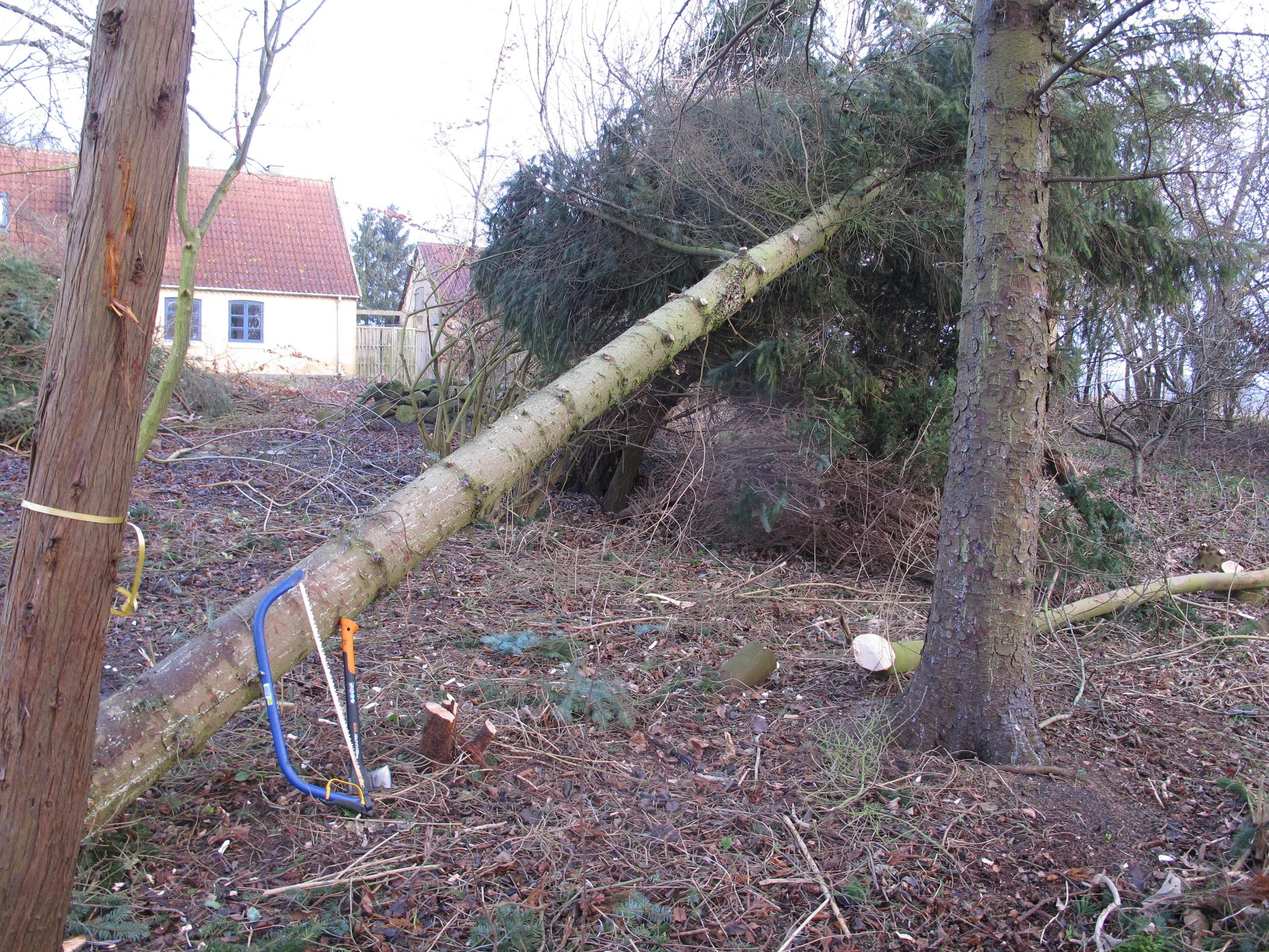 Træet på sin nyfundne liggeplads op af endnu et træ.
