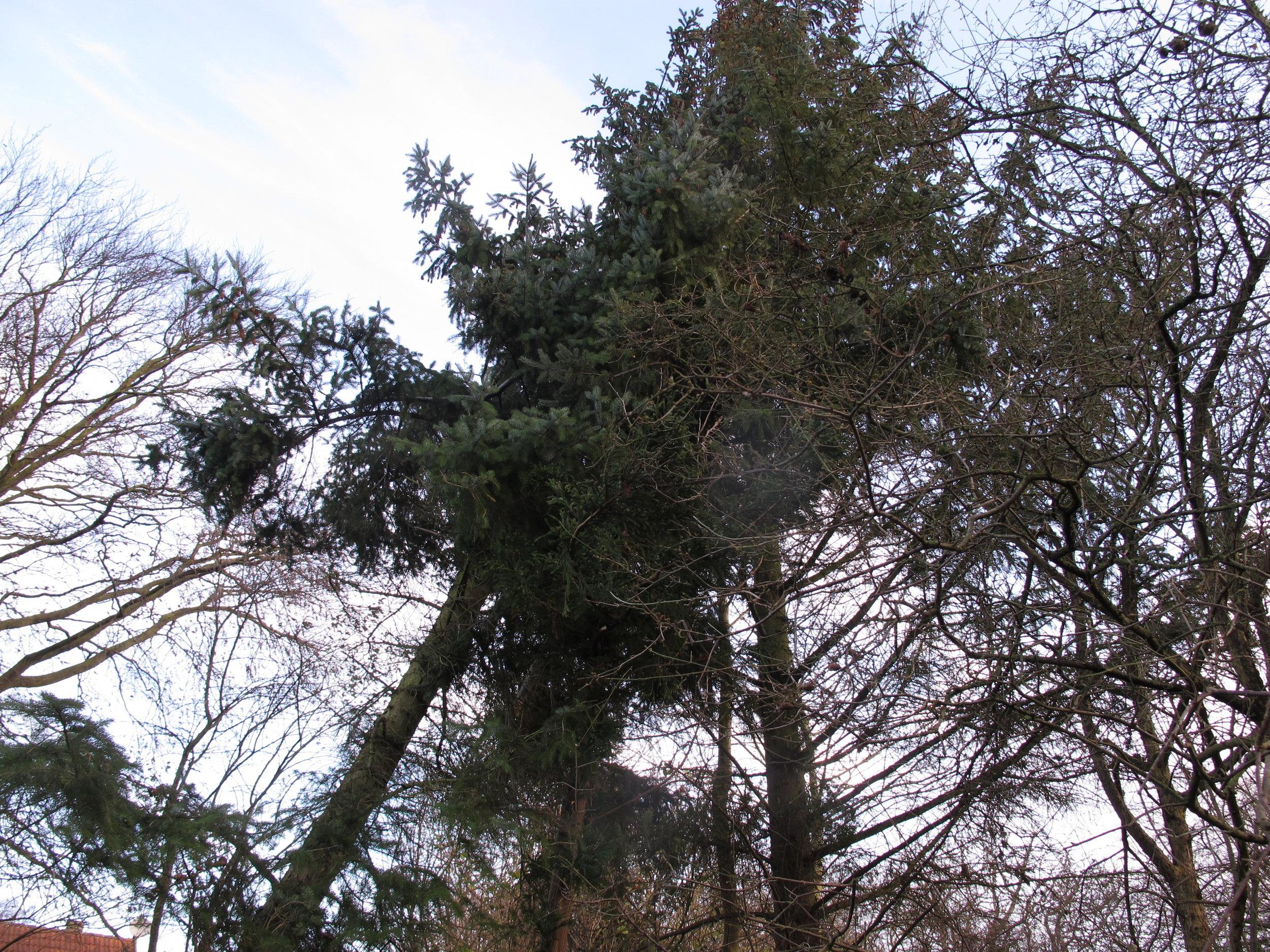Det genstridige træ (t.v.) og dets partner-in-crime (t.h.).