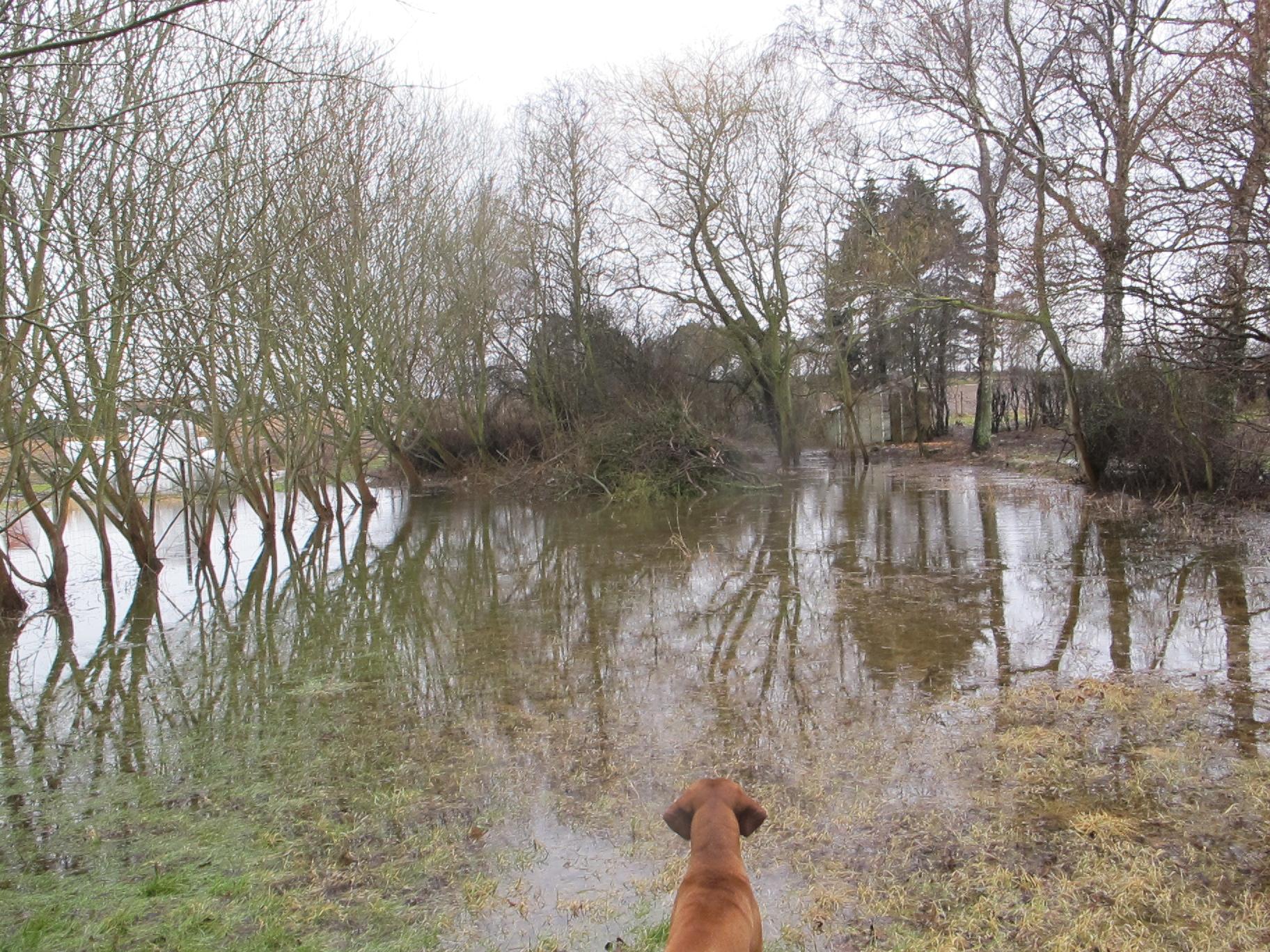 Haddock besigtiger den oversvømmede græseng.