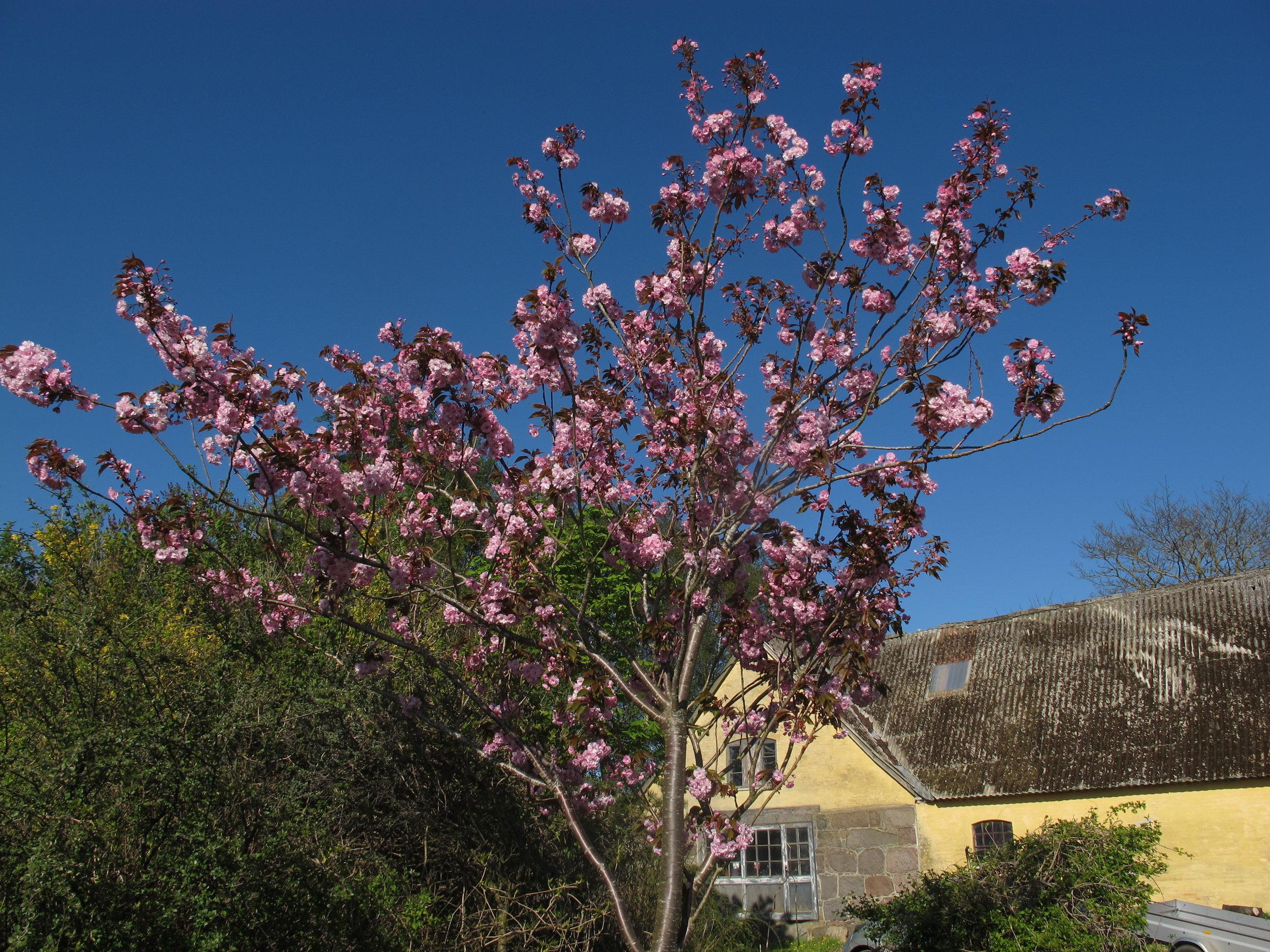 Foråret er nu en smuk tid. Alt er sprunget ud på meget kort tid.