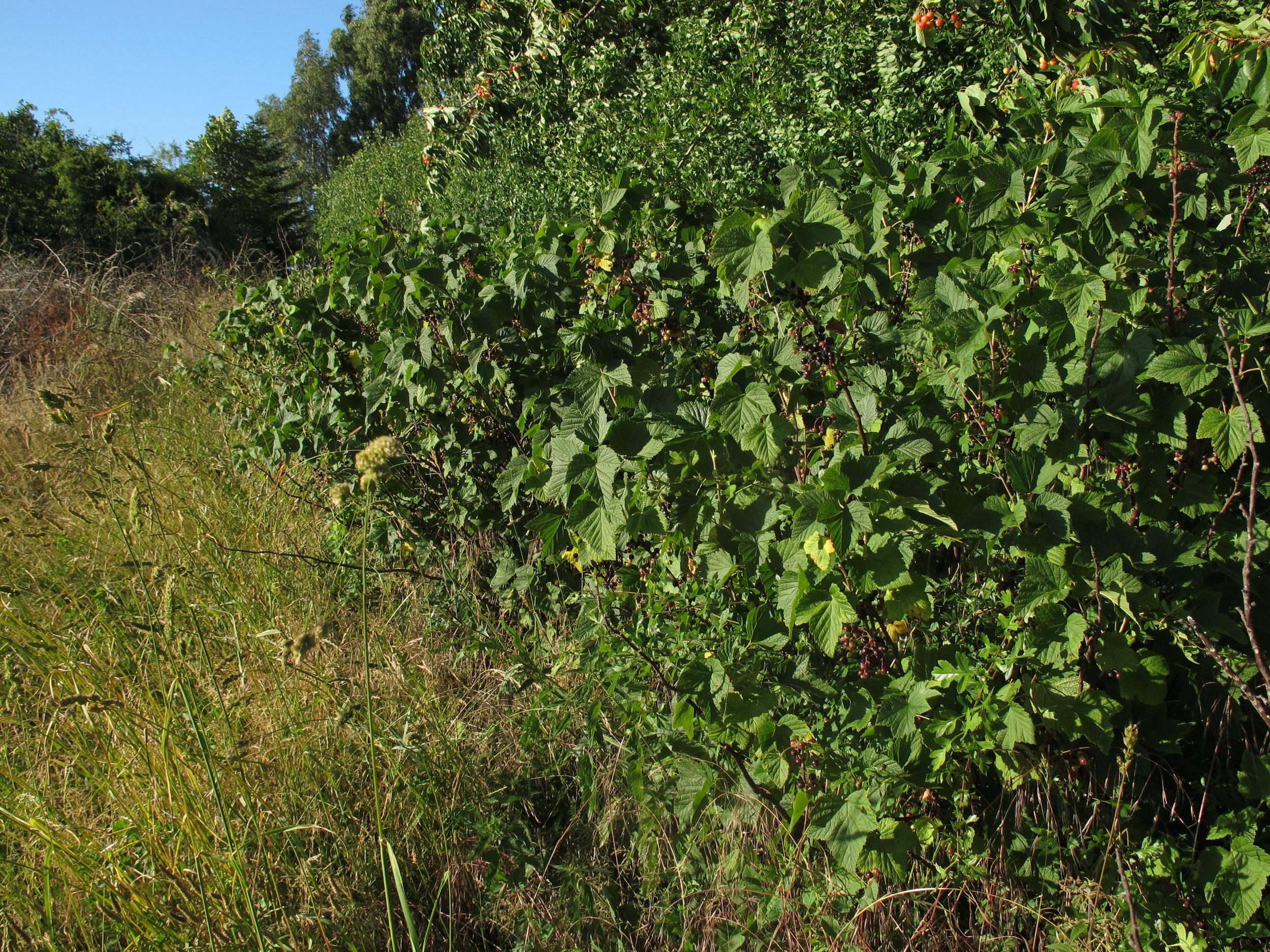 Gårdens mange solbærbuske