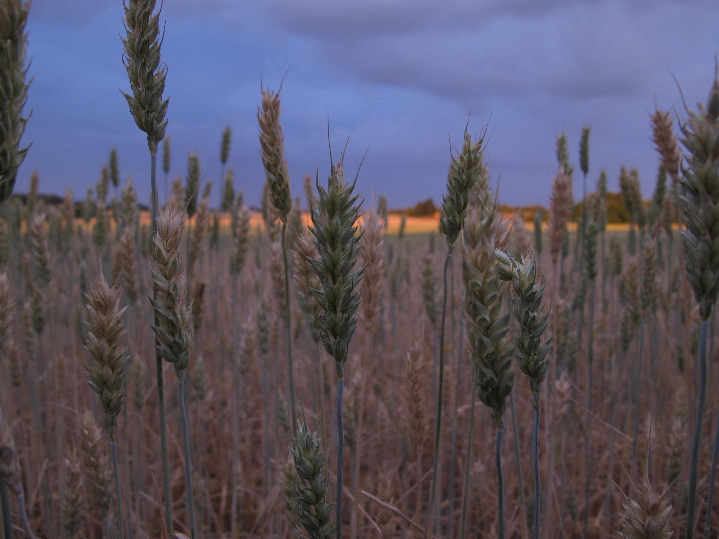 Naboens korn er virkelig brunt og svedent. Jeg forstår godt, at mange bønder knirker over den tørre sommer.