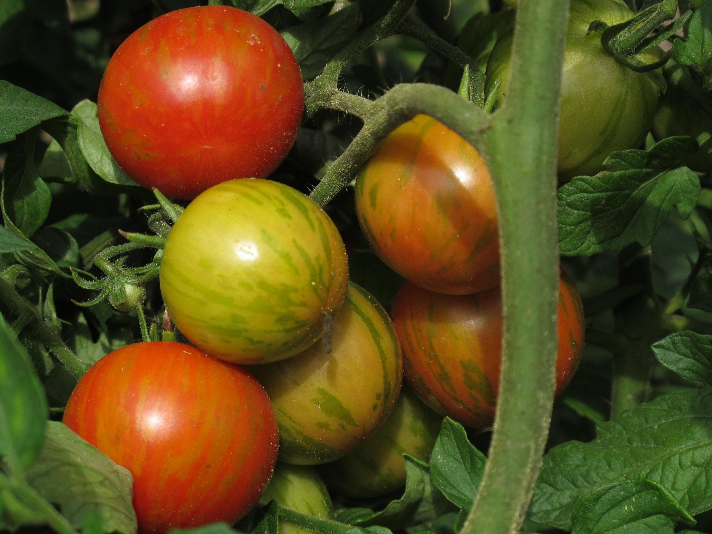 Jeg hiver omkring et kilo tomater ind om dagen for tiden