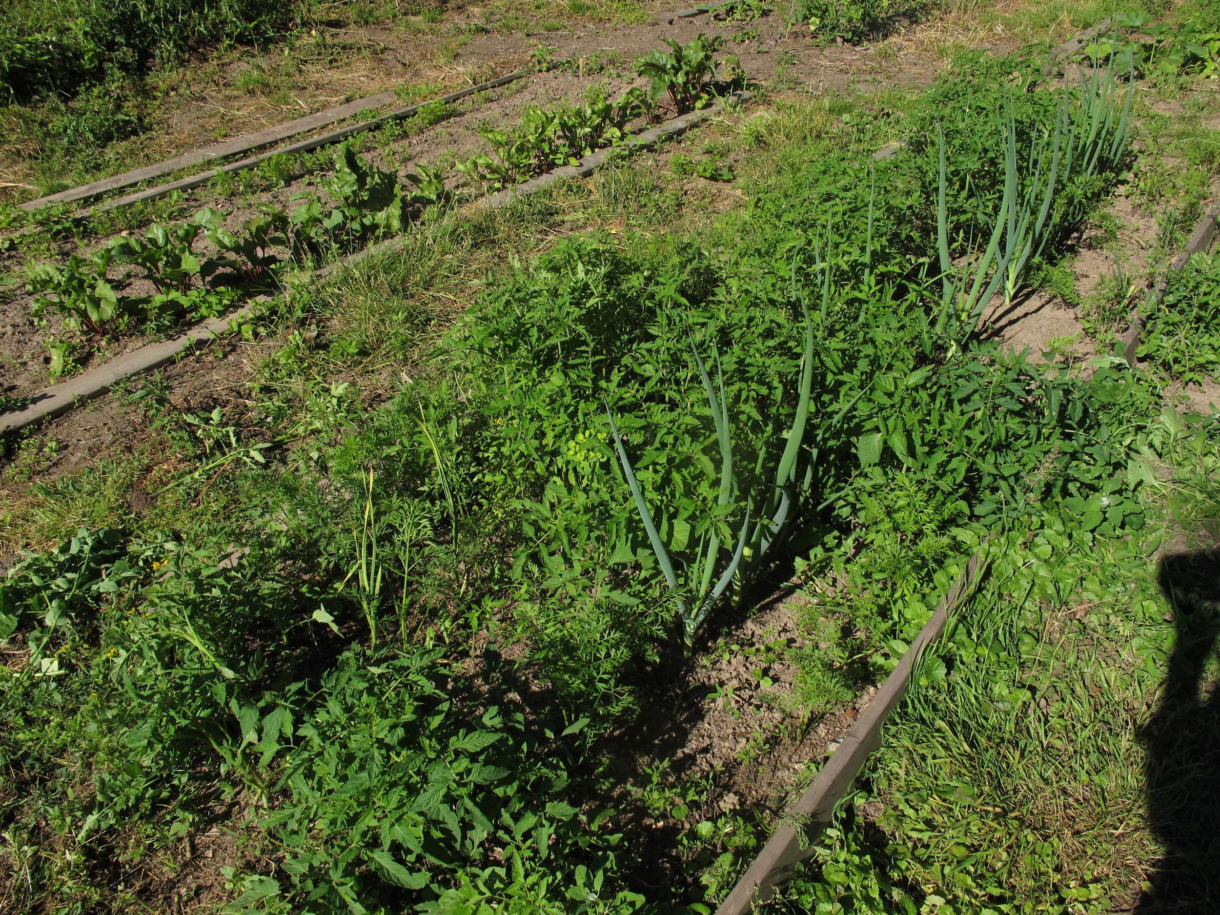 Trods mange lugningsindsatser er det stadig mere tomatbed end løgbed