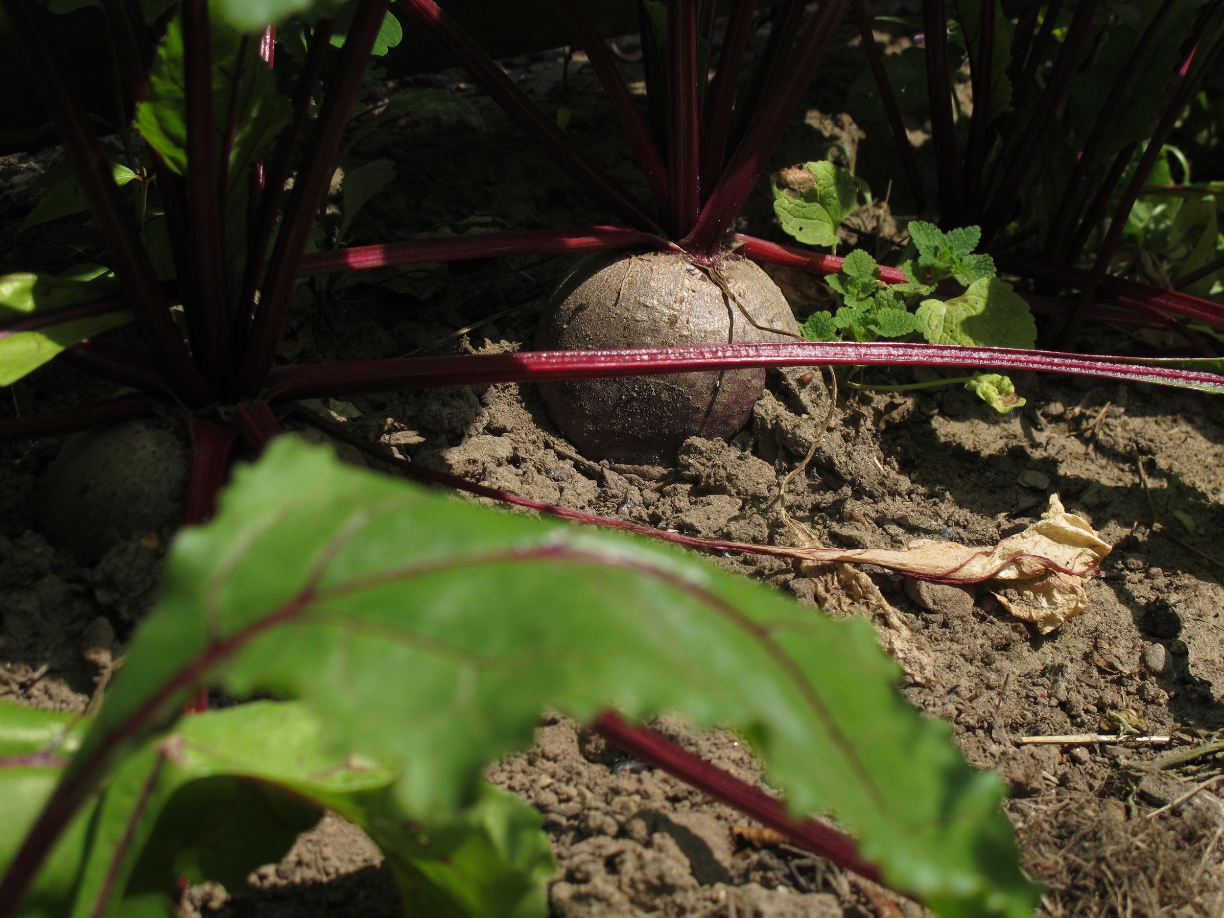 De her rødbeder vil vanvittigt gerne høstes nu, men de må vente for jeg har allerede en kilo liggende, der venter på at blive til rødbederelish.