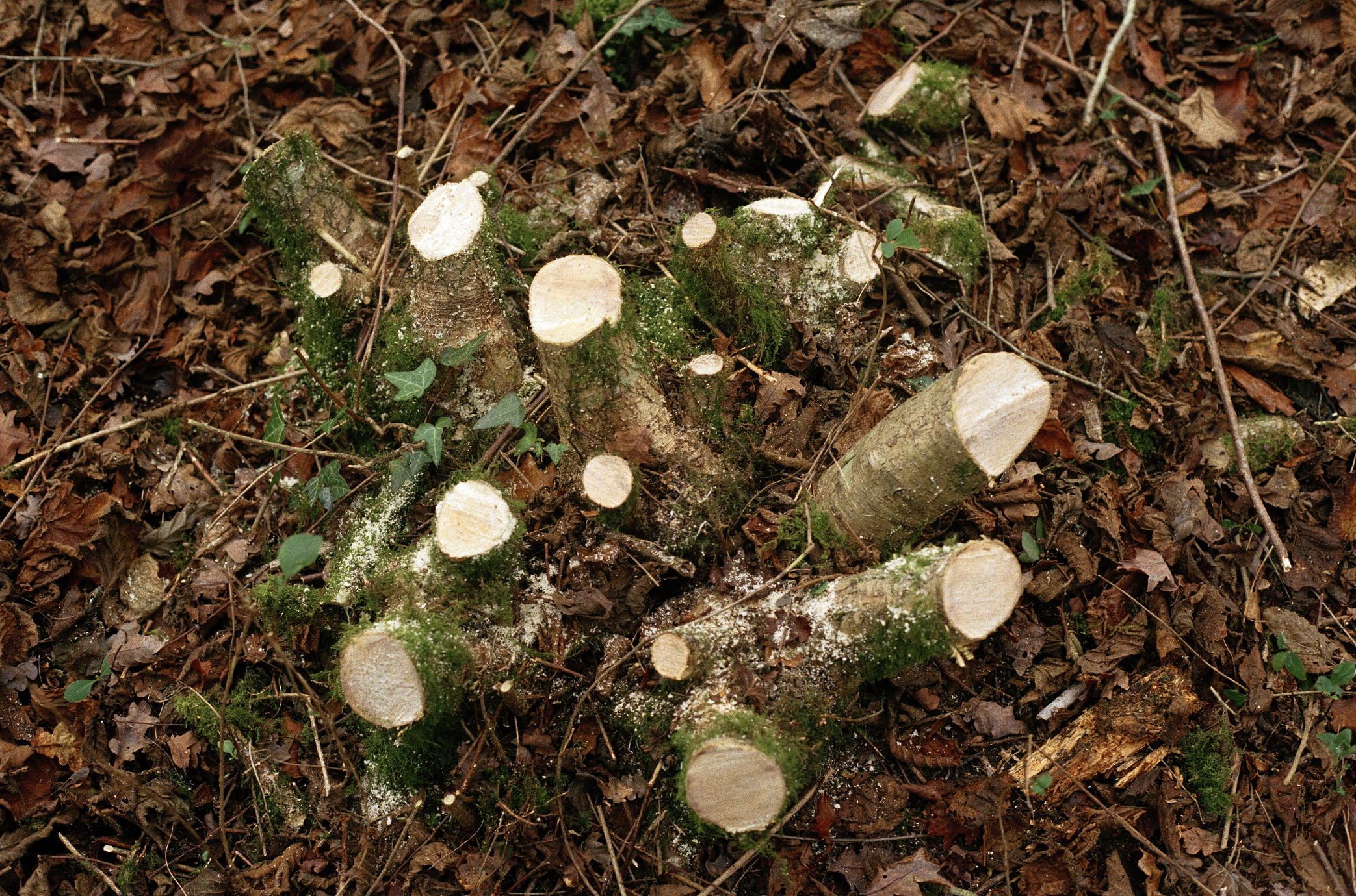 My first hazel stump - 13/12/18