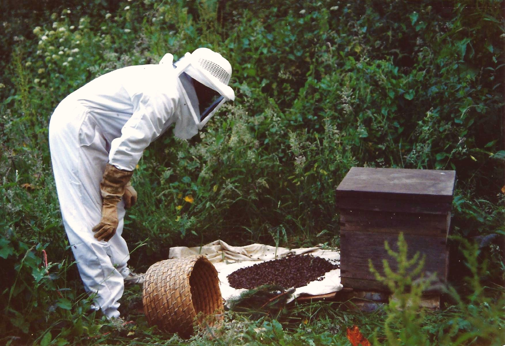 Deryk 'running' a swarm of bees into a hive.