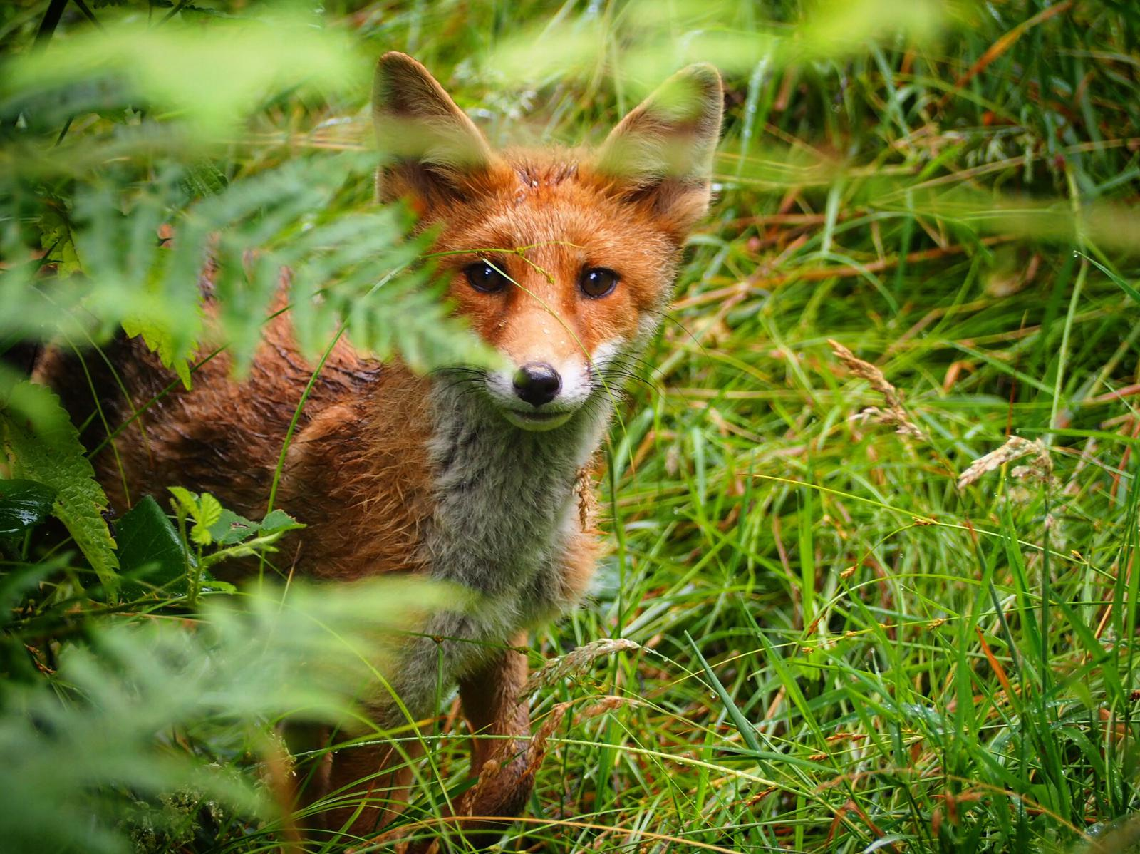 Photo of a young fox taken by Martin Noble.