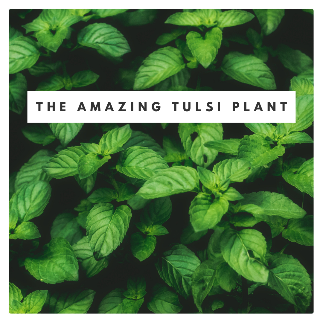 The amazing tulsi plant.png