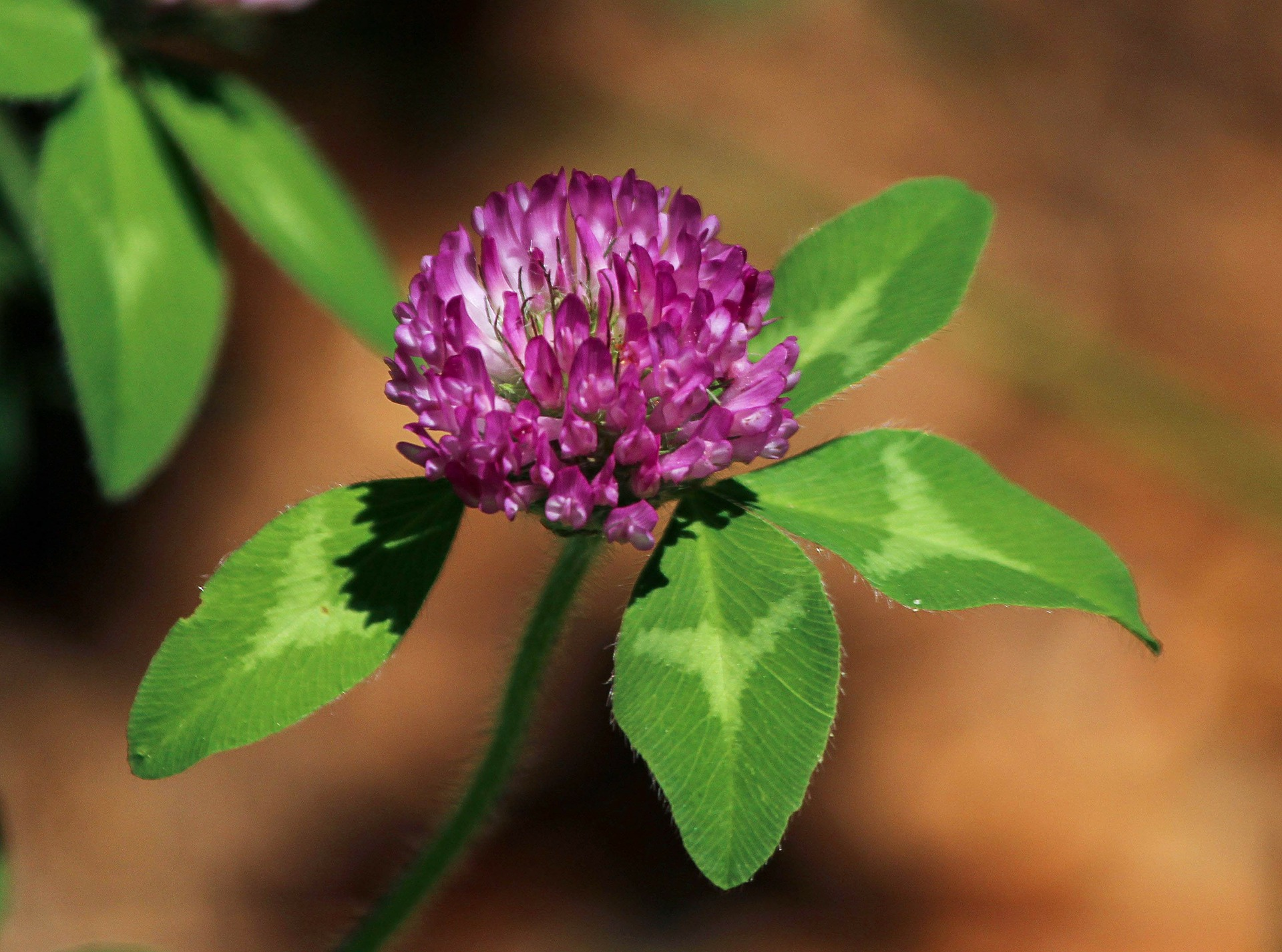 red-clover-flower-113867_1920.jpg