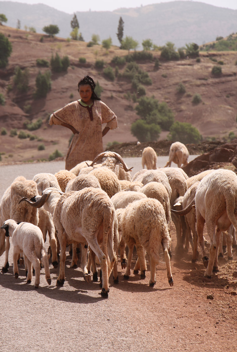 Sheep somewhere in the Middle Atlas Mountains, Morocco