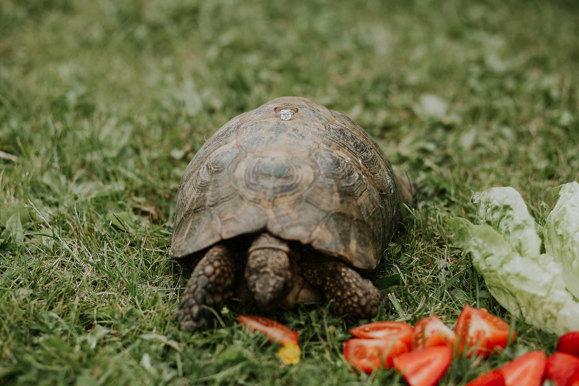 Wedding ring on pet tortoise