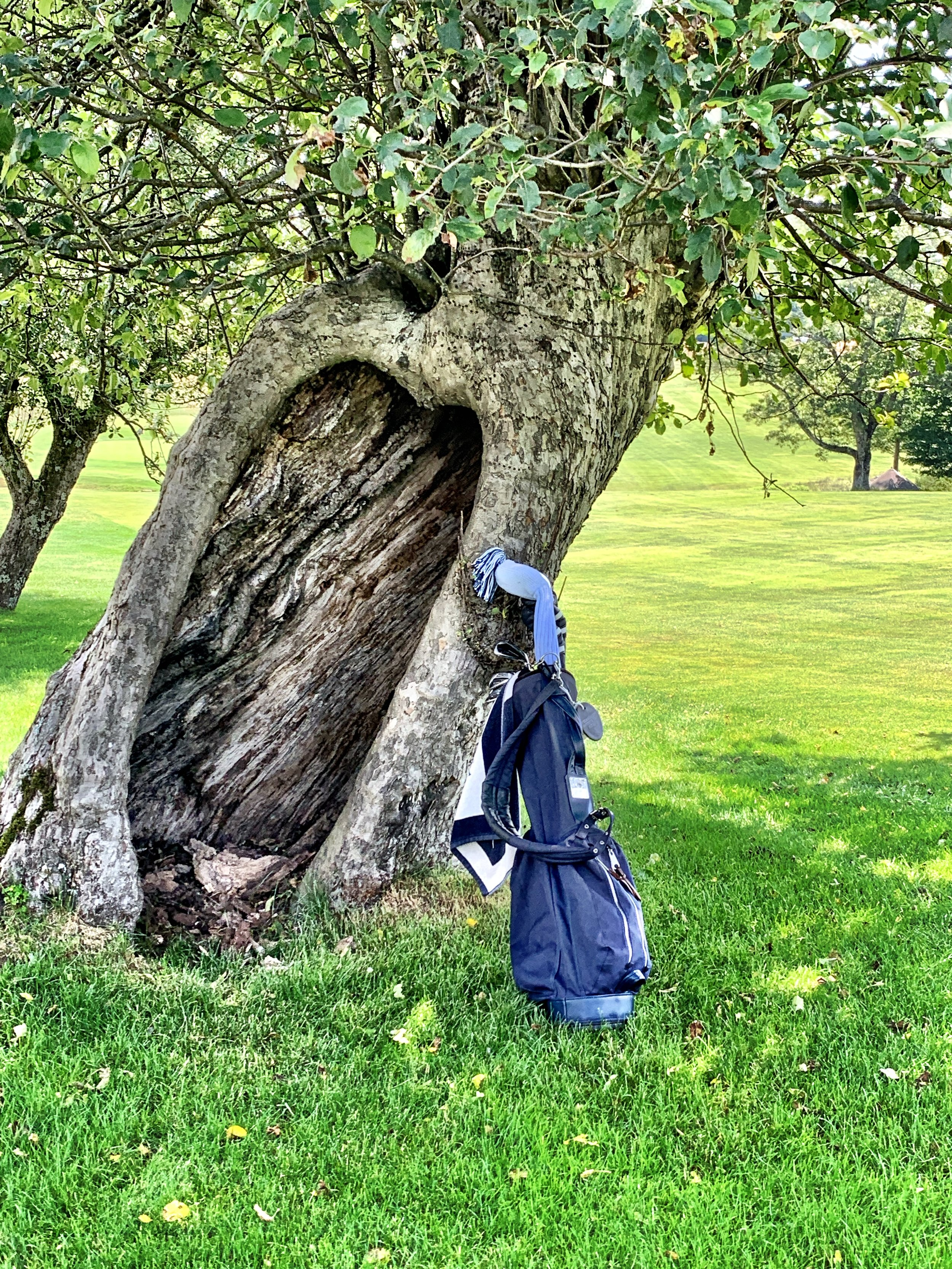 Despite its trunk long-ago being hollowed out, this apple tree alongside the fourteenth fairway still bears fruit every fall. Interesting stuff you learn just sauntering along.