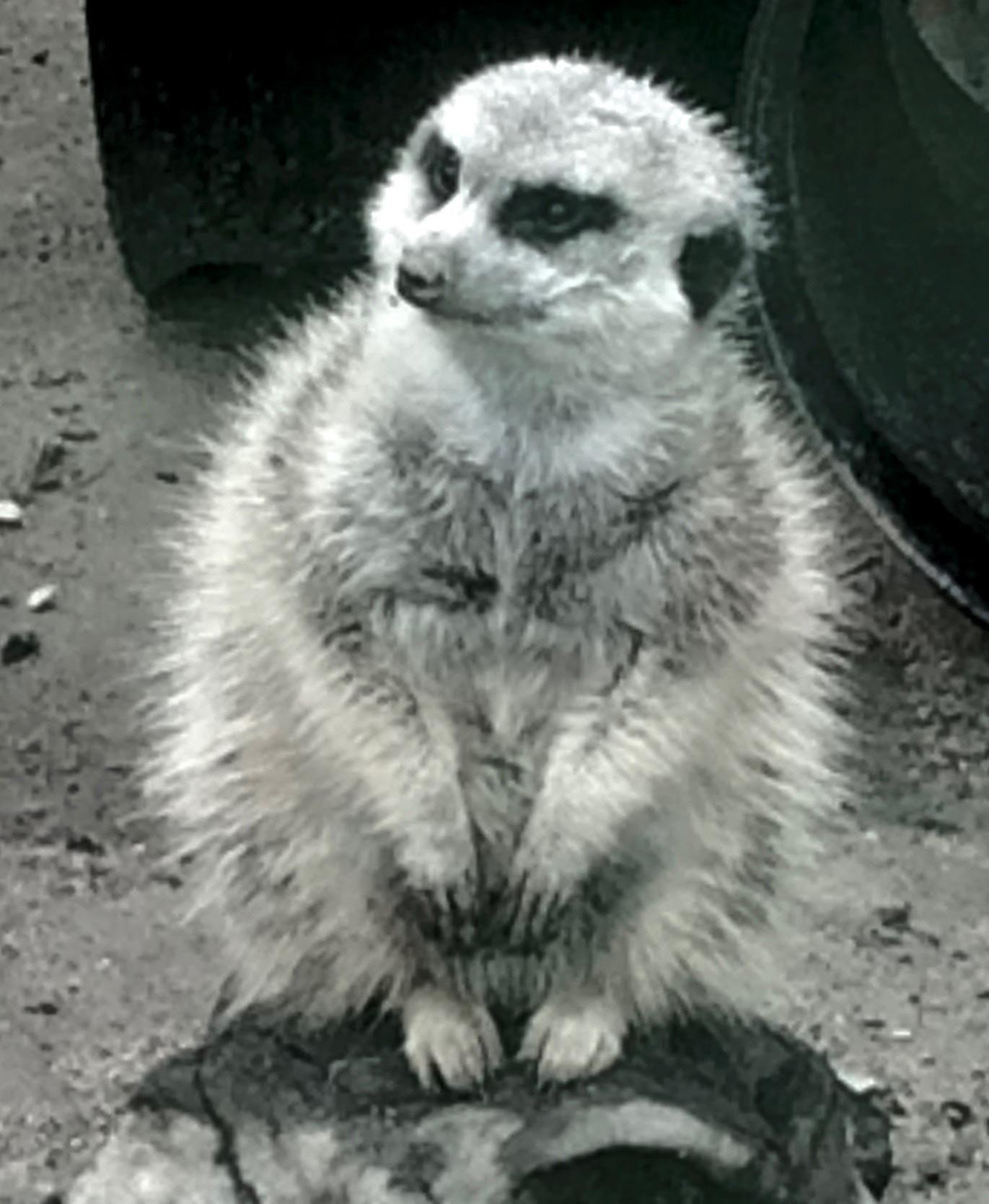 black-and-white-photo-of-wise-old-meerkat-by-kathryn-beam-troxler-IMG_1649.jpg